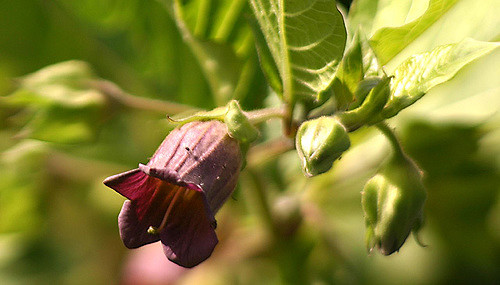 Atropa bella donna: A Witch's herb historically used in flying ointments.